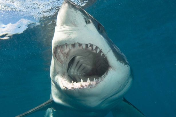 Great White Shark. Photo: Mirror.co.uk